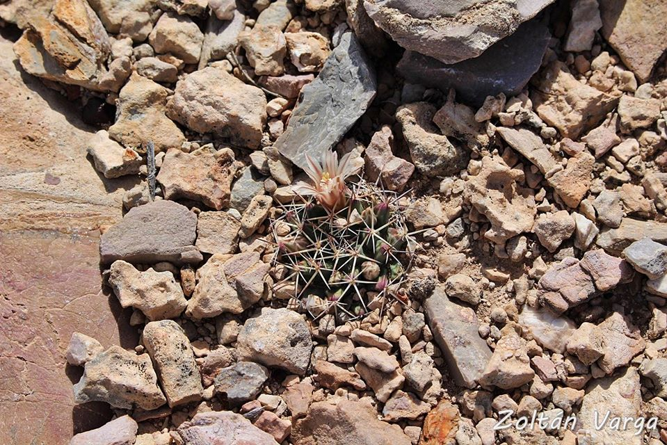 Mammillaria aff heyderi Tecolotes, Zacatecas, México.