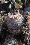 Mammillaria perezdelarosae ssp. andersoniana
