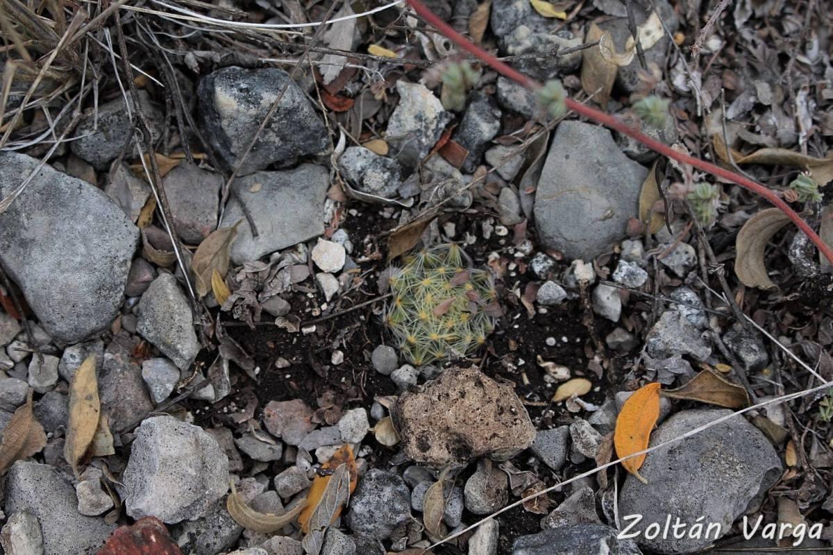 Mammillaria schiedeana ssp. dumetorum, Mezquites Grandes, San Luis Potosí, México.